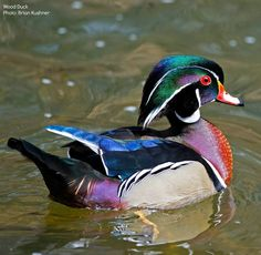 If you're still a bit bleary-eyed, here's a photo of one of your most colorful waterbirds - the Wood Duck! Sea Birds, Wild Birds, Wood Duck Mounts, Duck Pictures, Duck Bird, Mandarin Duck, Duck Decoys, Bird Artwork, Duck Hunting