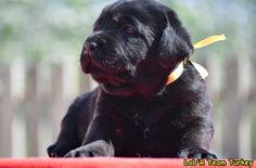 Labrador Retrievers, Turkey, Dogs, Animals, Black, Labrador Retriever, Animales, Turkey Country, Animaux