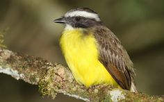 List of North American birds (Passeriformes) - Wikipedia, the free ...