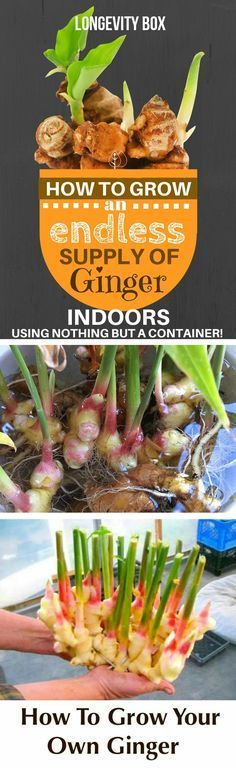 How to grow an endless supply of ginger