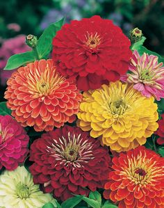 Zinnia Elegans Thumbelina Quality Images | iPhoto Pick