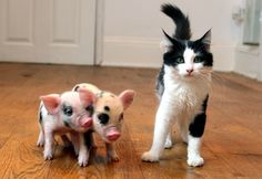 Oh my goodness! This poor cat looks maxed out over these piglets.