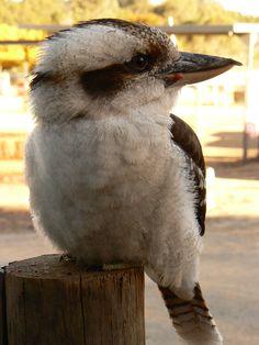 Kookaburra :) Australian Continent, Kinds Of Birds, Small Island, Kingfisher, Tasmania, Feathers, History, Animals, Art
