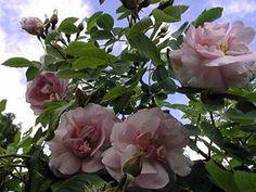 Alba rose  Celestia