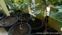 Balitjestro | Pencinta Tanaman Anggur Serius Konsolidasikan Diri