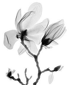 Resultado de imagem para magnolia x ray