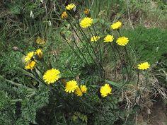 Wildflowers--Cat's-ear (Hypochaeris radicata formerly Hypochoeris radicata) © Claire Ogden