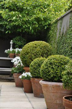 Boxwood in Terracotta Pots