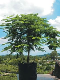 Logan River Tree Farm has a large selection of Exotic non-native trees & shrubs to suit any location with bag sizes ranging from 25 to 500 Litres. Logan River, Delonix Regia, Exotic Plants, Trees And Shrubs