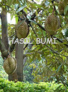 Durian Monthong Manis Legit dengan Bau Sedang ~ Hasil Bumi