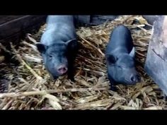 вьетнамские свинки - YouTube