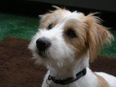 Oh my sweetness!  {but i wouldn't want to own you, you little barking machine}    :) Jack Russell Terrier
