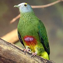 Lilac Capped Fruit Dove