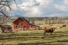 Cow Scene, Stevensville MT