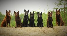 If you are considering getting a highly intelligent dog that is playful and good with children, then put the Australian Kelpie on your list. Farm Dogs, Border Collie, Dog Breeds, Pup, Doggies, Country, Dog Baby, Rural Area, Species Of Dogs