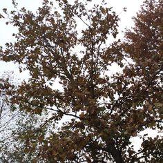 High up nest in white or swamp? oak Fresh Pond.#CambridgeMA #CambMA #picturecambridge #urbanwildlife by inthebigmuddy November 10 2015 at 04:16AM
