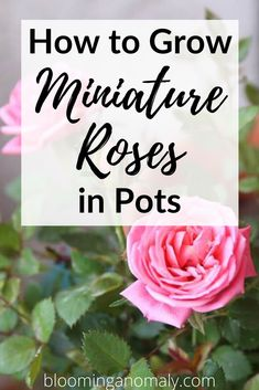 If you love roses but don't have the space, grow miniature roses. Grow miniature roses in pots outdoors on your patio or porch. Click on the pin to learn how to grow miniature roses. #miniatureroses #miniaturerosesoutdoors #miniaturerosesbush #miniaturerosesinpots Beautiful Flowers Garden, Amazing Flowers, Ground Cover Roses, Drift Roses, Floribunda Roses, Rose Care, Traditional Roses, Dry Plants, Growing Roses