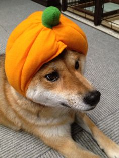 #dog #shibainu #shiba #柴犬 #柴女子 #赤柴 #日本犬 #cute #犬バカ部 #柴犬かすみ #モフモフ部 #ふわもこ部 #いぬら部 #わんダフォー #わんだふるJAPAN #shibastagram #instashiba #shibalove #doglovers