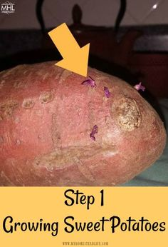 How To Grow Sweet Potatoes In 5 Easy Steps! - My Homestead Life How To Grow Sweet Potatoes In 5 Easy Steps! - My Homestead Life Sweet Potato Plant Vine, Sweet Potato Leaves, Sweet Potato Slips, Sweet Potato Vines, Sprouting Sweet Potatoes, Growing Sweet Potatoes, Grow Potatoes, Planting Potatoes, Sweet Potato Noodles
