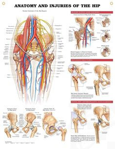 Anatomy and Injuries of the Hip anatomy poster illustrates general hip anatomy including bones, muscles, arteries, veins and nerves.
