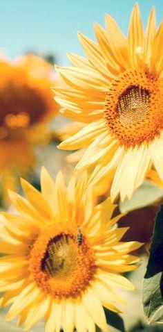 Garden Flowers Wallpaper flowers hd and widescreen wallpapers | yellow chrysanthemum flower