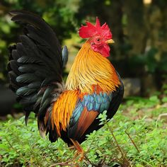 Fairy Cock   錦雞 ... [Best viewed in large scale] ... Planned…   Flickr
