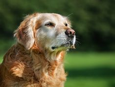 Aging is a normal process and is not a disease, but there are some common and predictable changes that occur as your dog ages. Knowledge is power and being aware of these changes allows you to make accommodations to …