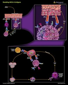 >Biolegend: Shedding MICA/B Antigens Scientific Pathway Poster
