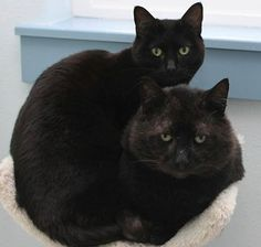 You're definitely seeing double: two cats just longing for a home together. Mr. Black (the big ol' tom) and Mars (the smaller lady) have bonded at West Coast Dog and Cat Rescue in Springfield, Oregon.  They just can't be separated! Mr. Black loves to held and petted. Mars is shy, but when she makes friends, it's for life.  Mr. Black is FIV+ and Mars isn't, but science says they can live together and both have normal, healthy lives!  Call (541) 255-9296 to meet Mars and Mr. Black!