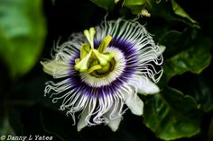 L1M2AP3 - Canon 400d - 50 mm lens -  ISO 200 - F1.8 - 1/2000 sec - early afternoon - cloudy day - hand held - passion-fruit flower - twicked in Lightroom - 27/02/15