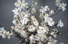 RHS Plant Selector Magnolia × loebneri 'Merrill' AGM / RHS Gardening