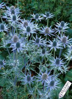 Eryngium Sapphire Blue