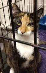 Zelda is an adoptable Calico Cat in Cumming, GA. Hi there! My name isZelda, acute and cuddly short hair white calicoborn around 5/11/2012. Currently I live with a loving foster family where I'm lea...