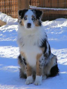 Australian Shepherd: Blue Merle with white and tan