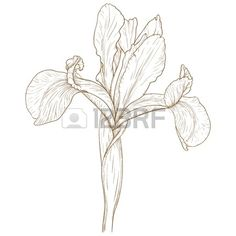 Illustration With Iris In Vintage Engraving Style. Royalty Free Cliparts, Vectors, And Stock Illustration. Image 15124719.