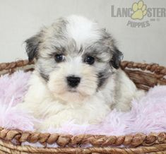 #Havanese #Charming #PinterestPuppies #PuppiesOfPinterest #Puppy #Puppies #Pups #Pup #Funloving #Sweet #PuppyLove #Cute #Cuddly #Adorable #ForTheLoveOfADog #MansBestFriend #Animals #Dog #Pet #Pets #ChildrenFriendly #PuppyandChildren #ChildandPuppy #LancasterPuppies www.LancasterPuppies.com Havanese Puppies For Sale, Lancaster Puppies, Animals Dog, Mans Best Friend, Puppy Love, Pets, Children, Sweet, Young Children