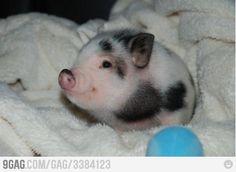 I love lil piggies!!