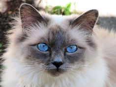 Beautiful cat with blue eyes-looks like my Sophie