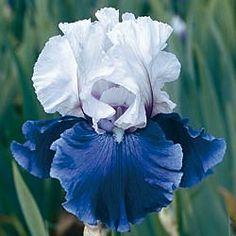 Mariposa Skies Colourful, Tall Bearded Reblooming Iris