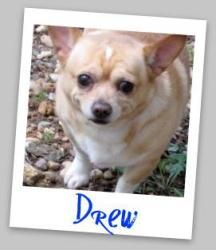 Drew is an adoptable Chihuahua Dog in Powder Springs, GA. Drew is a sweet laid back young Chigi (Chihuahua / Corgi mix). Affectionate and very friendly. Good with other dogs and loves people.
