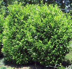 Skip Laurel: 7' wide, 10' tall fast growing evergreen