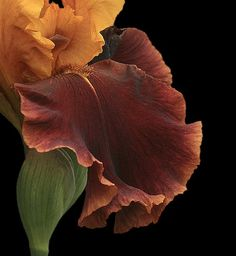 Rust and Bronze Gold Iris on Black Background - Holly Cawfield - iris detail Iris Flowers, Flowers Nature, My Flower, Planting Flowers, Beautiful Flowers, Brown Flowers, Exotic Flowers, Real Flowers, Deep Autumn