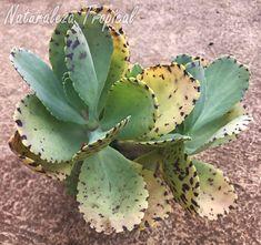 Vista de la planta suculenta Kalanchoe Moteado, Kalanchoe marmorata