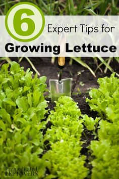 6 Tips for Growing Lettuce- Lettuce is a great beginning gardener's vegetable. Here are some great tips on growing lettuce to get you started.
