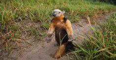 Presente em todo o Brasil, o tamanduá-mirim (Tamandua tetradactyla) é uma espécie ameaçada de extinção devido a destruição dos ambientes naturais em que vive. Além disso, também são comumente atropelados. Conheça a fauna e a flora de diferentes biomas brasileiros - Fotos - Meio Ambiente