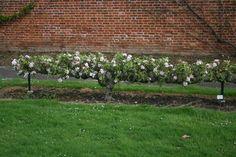 takozvane 'step over' jabuke trenirane kao mali espalier Fruit Garden, Garden Trees, Edible Garden, Vegetable Garden, Espalier Fruit Trees, Next Garden, Baumgarten, Potager Garden, Farm Gardens