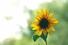 Sunflowers always make me feel happier