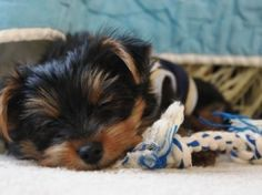 Cute Yorkie taking a snooze