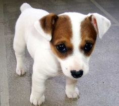 Choice Jack Russell Terrier Photo: He looks so sad!