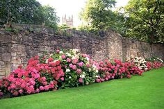 Hydrangeas. and that stone wall! LOVE!!!  Can't you just imagine what the rest of the yard and the house looks like?! And carriage houses and huge trees and..... O DREAMY!!!